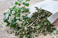 Getrocknete Weißdornblüten, Weißdorn-Blüten, Ernte, Trocknen, Weißdorn, Weissdorn, Weiß-Dorn, Weiss-Dorn. Zweigriffliger Weißdorn, Zweigriffeliger Weißdorn, Crataegus laevigata, Crataegus oxyacantha, midland hawthorn, English hawthorn, woodland hawthorn, mayflower, May, L'Aubépine lisse, Aubépine à deux styles, Aubépine épineuse