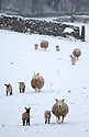 26/03/15<br /> <br /> Sheep with young lambs wake to snow covered fields near Hartington, in the Derbyshire Peak District.<br /> <br /> All Rights Reserved - F Stop Press.  www.fstoppress.com. Tel: +44 (0)1335 418629 +44(0)7765 242650