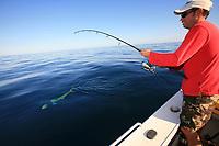 angler fights Mahi mahi, dorado or dolphin fish, Coryphaena hippurus, sportfishing, New South Wales Australia