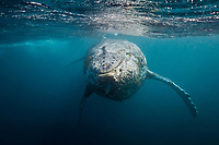 humpback whale, Megaptera novaeangliae, Wild Coast, South Africa, Indian Ocean