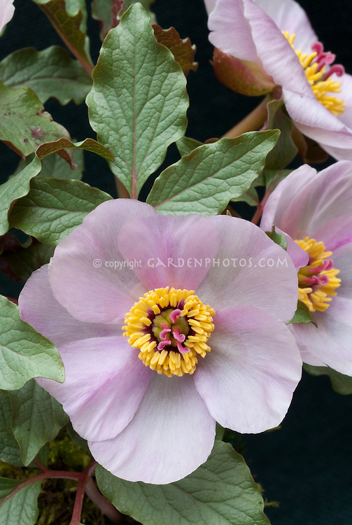 Paeonia cambessedesii (Majorcan Peony) species in pink flower