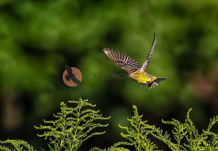 Bobolink in flight against green background