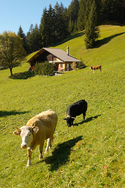 Alpine Pastures with Traditional houses and cows- Swistzerland