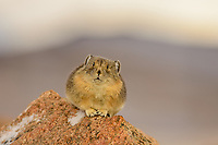 American pika (Ochotona princeps).  Beartooth Mountains, Wyoming/Montana border.  Sept.  This photo was taken in alpine setting at around 11,000 feet (3350 meters) elevation.