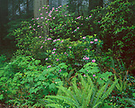 Redwood National Park, CA<br /> Flowering Rhododendron (R. macrophyllum) in redwood forest understory in Del Norte coast Redwoods State Park