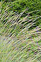 Atlas fescue (Festuca mairei), early July. A grey-green, clump-forming grass.