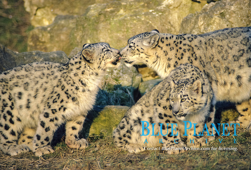Snow Leopard (Panthera uncia), female with two ten month old cubs