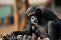 SIERRA LEONE, WAPFor Project, Tacugama Reserve for chimpanzee / Tacugama Reservat fuer bedrohte Schimpansen, Bewahrung des Waldschutzgebietes der Western Area Peninsula und ihres Wassereinzugsgebietes WAPFoR