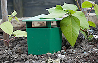Slug trap with beer inside next to a runner-bean plant and cane. Slugs smell the beer, enter the trap through the gap and drown.