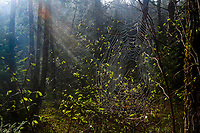 A spiderweb and sunbeams in spring in the Siamese Ponds Wilderness area in the Adirondack Mountains in New York State