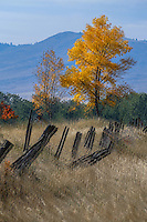 Broken down fence. Cottonwood showing off its fall color. Just the kind of thing one expects to find in the Mission Valley of western Montana
