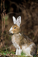 Snowshoe hare or varying hare (Lepus americanus), May