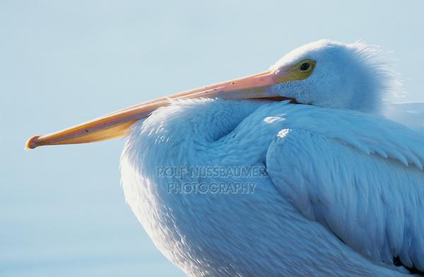 American White Pelican, Pelecanus erythrorhynchos, adult resting, Rockport, Texas, USA, December 2003