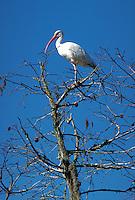 A White Ibis.