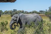 Africa, Botswana, Okavango Delta, Khwai Private Reserve. Elephants.