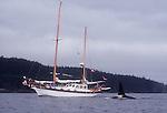 Orca whale, male, dorsal fin, and sailboat, Johnstone Strait, Inside Passage, Vancouver Island, British Columbia, Canada, North America,