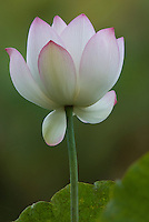 Single white lotus opening with pink edges