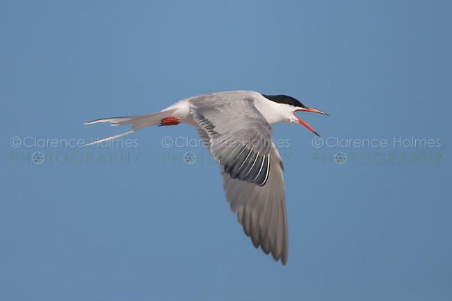 Common Tern (Sterna hirundo) flying back to its nest, Nickerson Beach, Lido Beach, New York