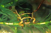 Gelbrandkäfer, Gelbrand-Käfer, Gelbrand, Dytiscus marginalis, great diving beetle, Schwimmkäfer, Dytiscidae