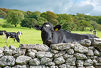A dairy cow looking over a stone wall, Carnforth, Lancashire,UK.