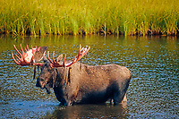 moose, Alces alces, bull feeding on aquatic plants in a kettle pond, Denali National Park, Interior of, Alaska, USA, USA