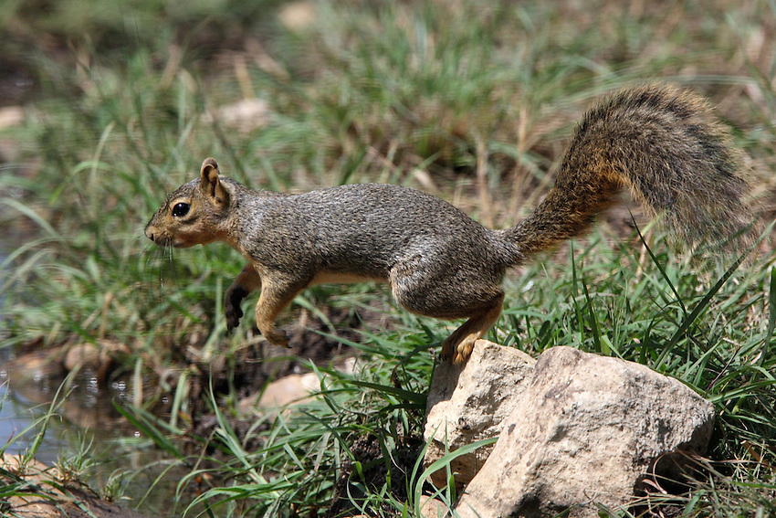 Fox squirrels are slightly larger and more reddish than gray squirrels, with an orange rather than whitish fringe on tail.