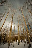 Winter Aspens - Arizona<br /> vertical