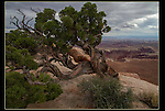 Juniper tree and Monument Canyon, Canyonlands National Park, UT.<br />
