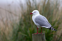 Red-billed Gull (Chroicocephalus scopulinus), adult resting on a post in Hillgrove, New Zealand.