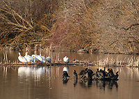 American White Pelicans, Pelecanus erythrorhynchos, and Double-crested Cormorants, Phalacrocorax auritus, on Upper Klamath Lake, Oregon