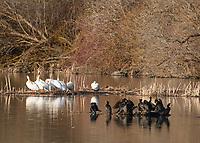 American White Pelicans, Pelecanus erythrorhynchos, and Double-crested Cormorants, Phalacrocorax auritus, on Upper Klamath Lake, Oregon