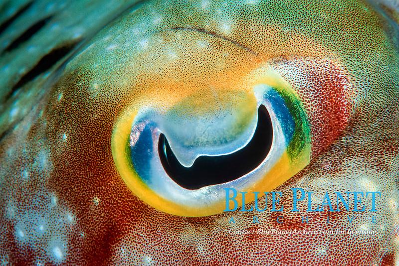 Broadclub cuttlefish, Sepia latimanus, Onemoba'a, Tomia, Kepulauan Wakatobi National park, Southeast Sulawesi, Indonesia, Banda Sea, Indian Ocean