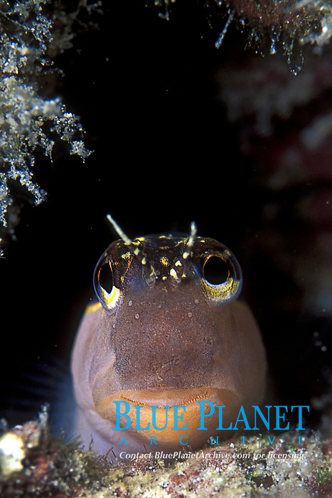 Cirripectus sp. Blennies, Blenniidae, small long elongate Bottom dweller small reef fish, Tropical ocean coral reef, bottom dweller, Indo Pacific Ocean,