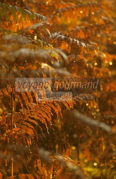 Europe/France/Limousin/19/Corrèze/Sédières: Forêt domaniale de Sédières - Détail fougères rousses