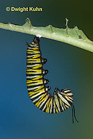 MO06-586z  Monarch forming a Chrysalis - Danaus plexipuss...
