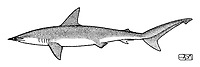 Smooth hammerhead, Sphyrna zygaena, lateral view, pen and ink illustration.