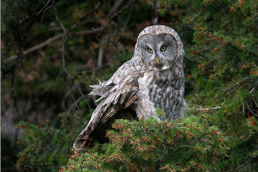 In the Harry Potter series, the Weasley's exhausted owl, Errol, is a Great Grey owl like this one (Strix nebulosa). Rainy Lake, Yellowstone.