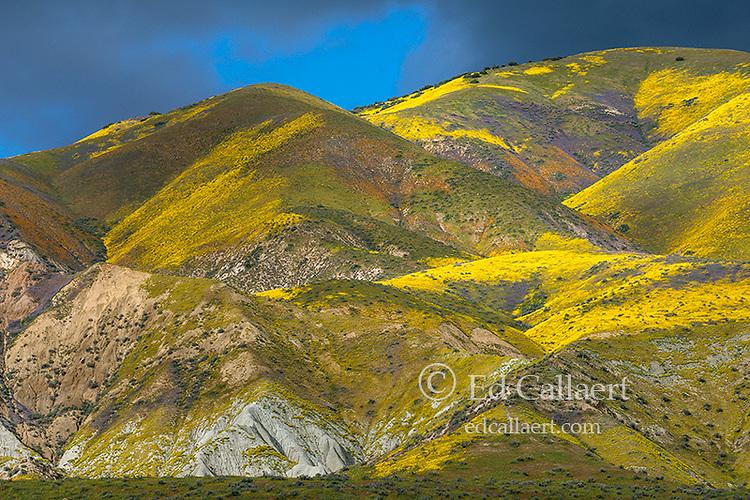 Monolopia, Fiddlenecks, Phacelia, Coreopsis, Tremblor Range, Carrizo Plain National Monument, San Luis Obispo County, California