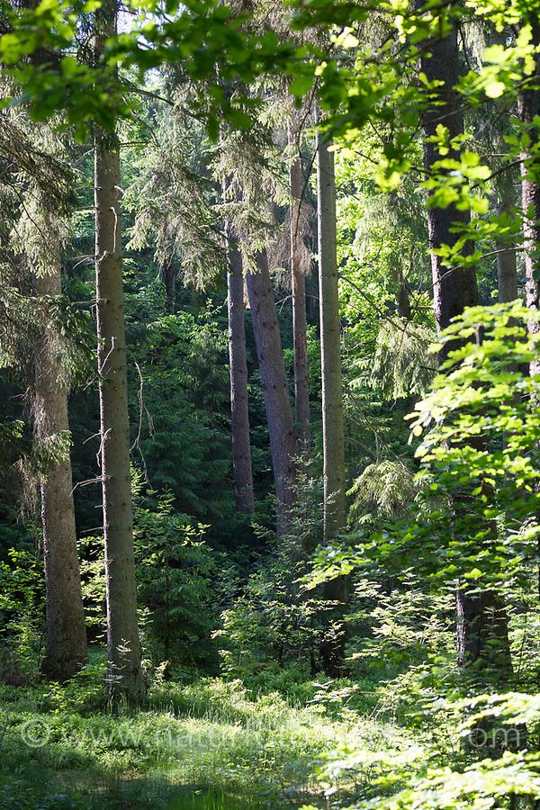 Fichtenwald, Nadelwald, Mischwald, Wald, Fichte, Fichten, Gewöhnliche Fichte, Rot-Fichte, Rotfichte, Picea abies, Spruce, Common Spruce, Norway spruce, coniferous forest, coniferous woodland, conifer forest, L'Épicéa, Épicéa commun