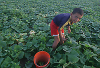 Palestinian boy farmer harvest cucumber  in light of the Israeli closure of commercial crossings with the Gaza Strip after Hamas control of the Gaza Strip August 20, 2007.photo by Fady Adwan""