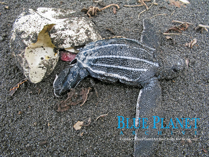 leatherback sea turtle hatchling, Dermochelys coriacea, hatching from egg, Dominica, Caribbean, Atlantic Ocean