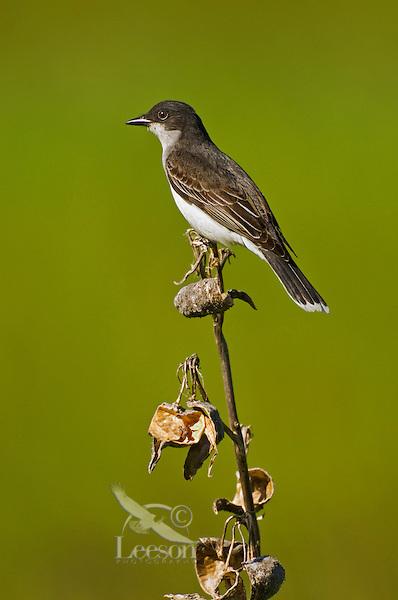 Eastern Kingbird (Tyrannus tyrannus)  common in woodland clearings, farms, & orchards. Lake Ontario. Ontario. Canada. Spring.
