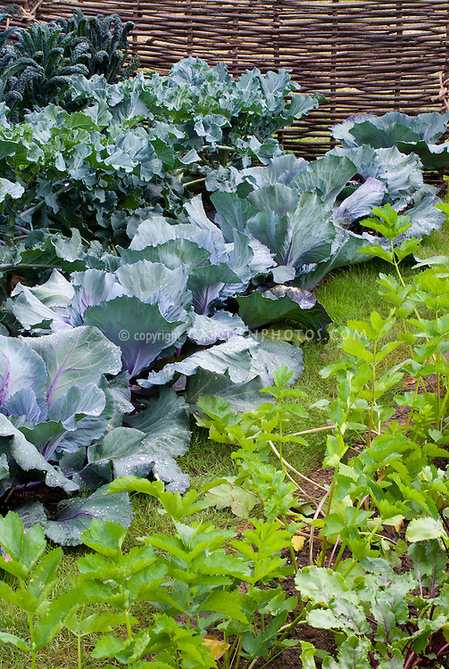 Cabbages, kales and parsnips, rhubarb growing in vegetable garden aka Cavalo Nero kale