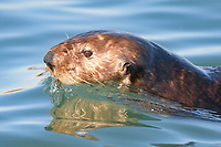 Enhydra lutris nereis, Sea otter, swimming at the ocean surface,, Elkhorn Slough National Estuarine Research Reserve, Moss Landing, California, USA