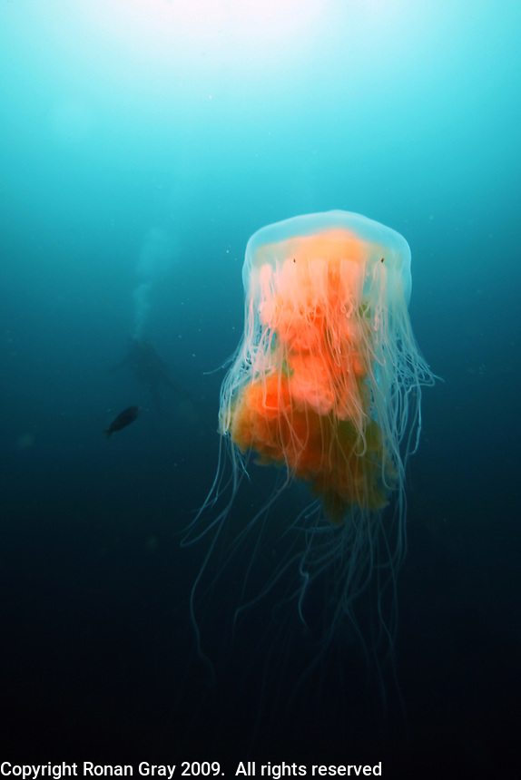 Monday, June 21, 2010:  A jellyfish floats in mid water in the foreground as a diver explores the wreck of the HMCS Yukon.  The wreck which was prepared and sunk for recreational divers to enjoy will have been underwater for ten years in July of this year.
