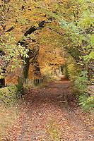 Autumn trees and track, Newton, Lancashire.