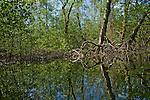 Mangrove-lined trees along a creek off of Bahia Honda, Isla Bastimentos, Bocas del Toro, Panama