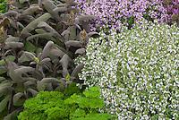 Thymus 'Porlock', Salvia officinalis, Petroselinum (Parsley), Thymus (white) herbs