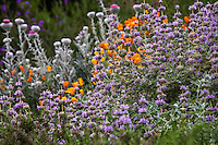 California purple sage Salvia leucophylla 'Point Sal' in garden with California native plants, poppies and thistle, Torgovitsky