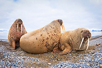 Atlantic walrus, Odobenus rosmarus rosmarus, herd, resting on the beach, Poolepynten, Prins Karls Forland, Svalbard, Norway, Atlantic Ocean